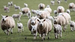 sheep-628x356